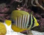 Sailfin Tang, Desjardini care and characteristics