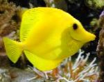 Yellow Tang characteristics and care
