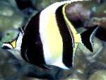 Moorish Idol care and characteristics