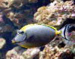 Naso Tang characteristics and care