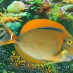 Black Spot Tang care and characteristics