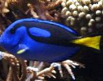 Yellow Belly Regal Blue Tang care and characteristics