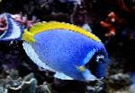 Powder Blue Tang care and characteristics