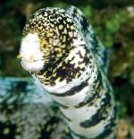 Snowflake Eel care and characteristics