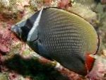 Pakistan Butterflyfish care and characteristics