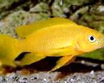 Lemon Cichlid, Orange Leleupi Cichlid characteristics and care