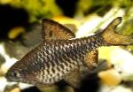 Checkered Barb characteristics and care