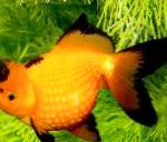 Goldfish characteristics and care