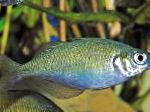 Lake Wanam rainbowfish,  care and characteristics