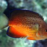 Rusty angelfish care and characteristics
