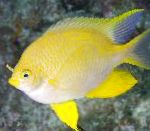Golden damselfish care and characteristics