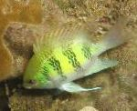 Staghorn Damselfish care and characteristics