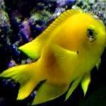 Canary Deep Water Damsel care and characteristics