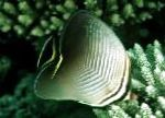 Triangular Butterfly Fish characteristics and care