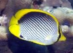 Black backed butterflyfish care and characteristics