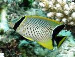 Chevron butterflyfish care and characteristics