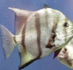 Atlantic Spadefish care and characteristics