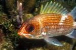 Bloodspot Squirrelfish care and characteristics