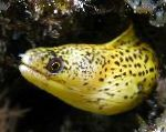 Golden Moray Eel care and characteristics