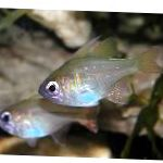 Longspine Cardinalfish care and characteristics