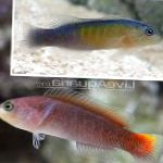 Orangetail Dottyback care and characteristics