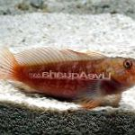 Ember Blenny care and characteristics