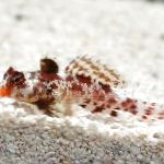 Red Scooter Dragonet care and characteristics