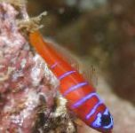 Catalina Goby (Bluebanded Goby) care and characteristics