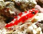 Red Spotted Goby care and characteristics