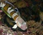 Ward's sleeper (Tiger Watchman Goby) care and characteristics
