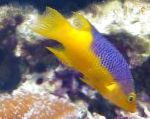 Spanish Hogfish care and characteristics