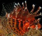 Fuzzy Dwarf Lionfish care and characteristics