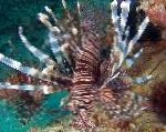 Russell's Lionfish care and characteristics