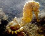 Tiger tail seahorse care and characteristics