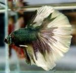 Siamese fighting fish characteristics and care