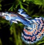 Guppy characteristics and care