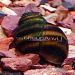 Freshwater Clam spherical spiral Japanese Trapdoor Snail (Pond) Photo