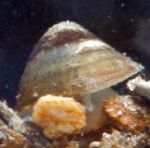 River Limpet characteristics and care