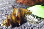 Photo Freshwater Clam Brotia Pagodula, brown