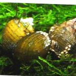 Photo Freshwater Clam Hairly Snail, Thiara cancellata, yellow