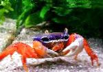 Pacific Land Crab, Rainbow Crab