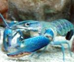 Red Claw Cray (Blue Lobster) characteristics and care