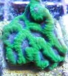 Pineapple Coral (Moon Coral)
