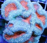 Lobed Brain Coral (Open Brain Coral) characteristics and care