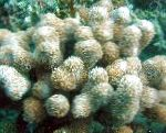 Porites Coral characteristics and care