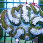 Symphyllia Coral characteristics and care