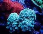 Alveopora Coral characteristics and care
