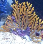 Lace Stick Coral  hydroid Photo