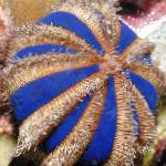 Sphere Urchin (Blue Tuxedo Urchin) characteristics and care