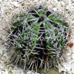 Collector Sea Urchins (Sea Eggs) characteristics and care